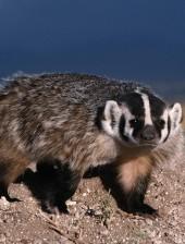 north_american_badger